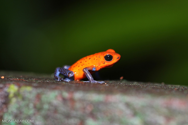 Strawberry poison-dart frog (Oophaga pumilio) [costa_rica_la_selva_1432]