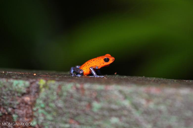 Strawberry poison-dart frog (Oophaga pumilio) [costa_rica_la_selva_1437]