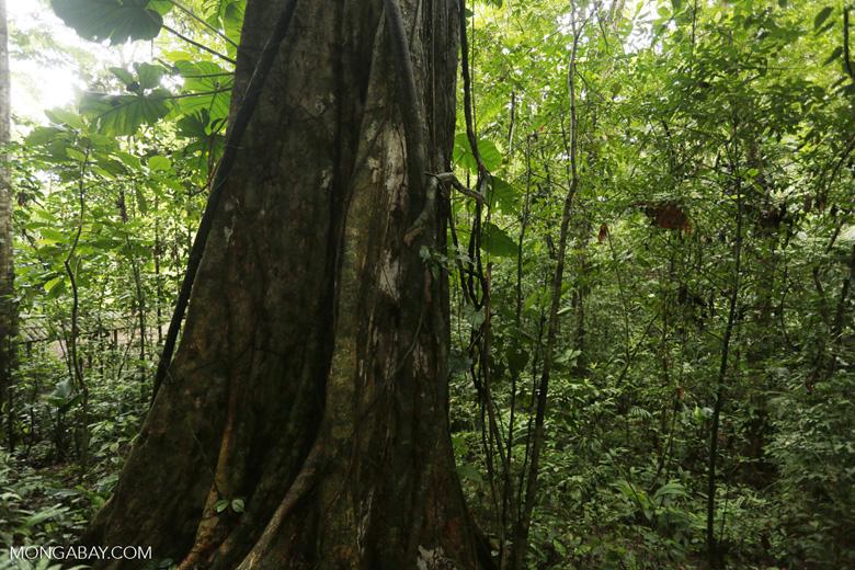 Rainforest tree [costa_rica_la_selva_1444]