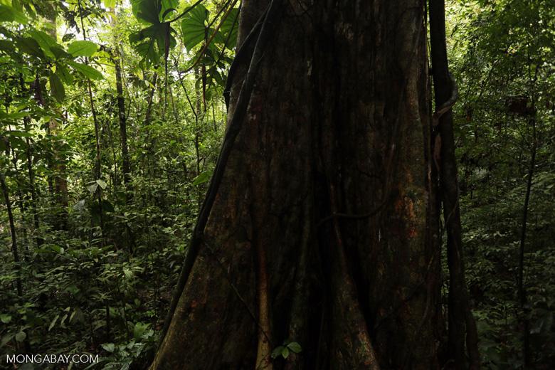 Rainforest tree [costa_rica_la_selva_1445]