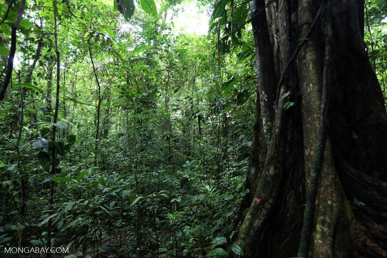 Rainforest tree [costa_rica_la_selva_1450]