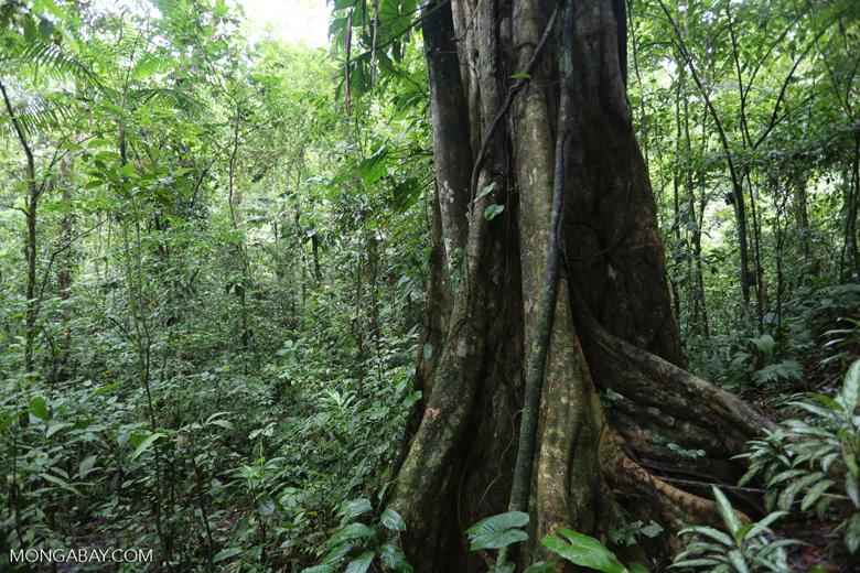 Rainforest tree [costa_rica_la_selva_1451]