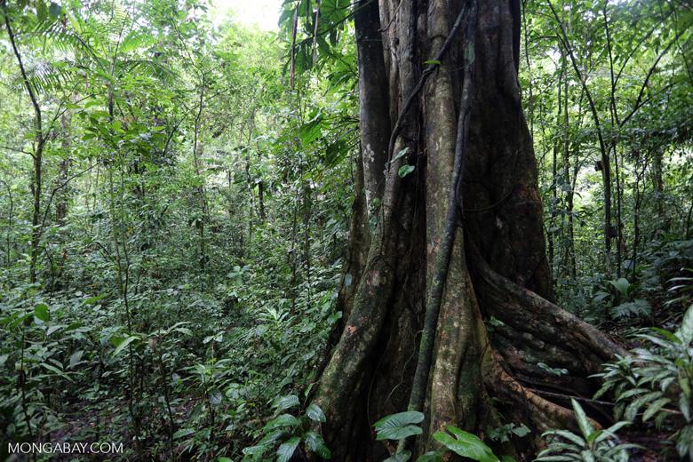 Rainforest tree [costa_rica_la_selva_1453]