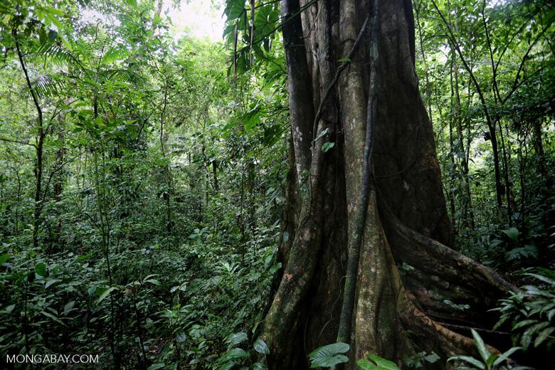 Rainforest tree [costa_rica_la_selva_1454]