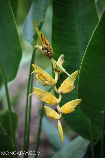 Yellow heliconia [costa_rica_la_selva_1471]