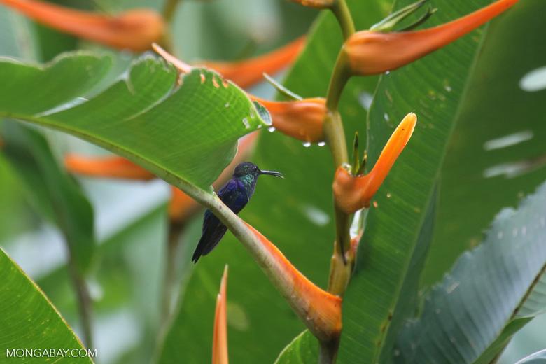 Hummingbirds [costa_rica_la_selva_1516]