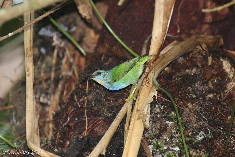 Bird [costa_rica_la_selva_1520]