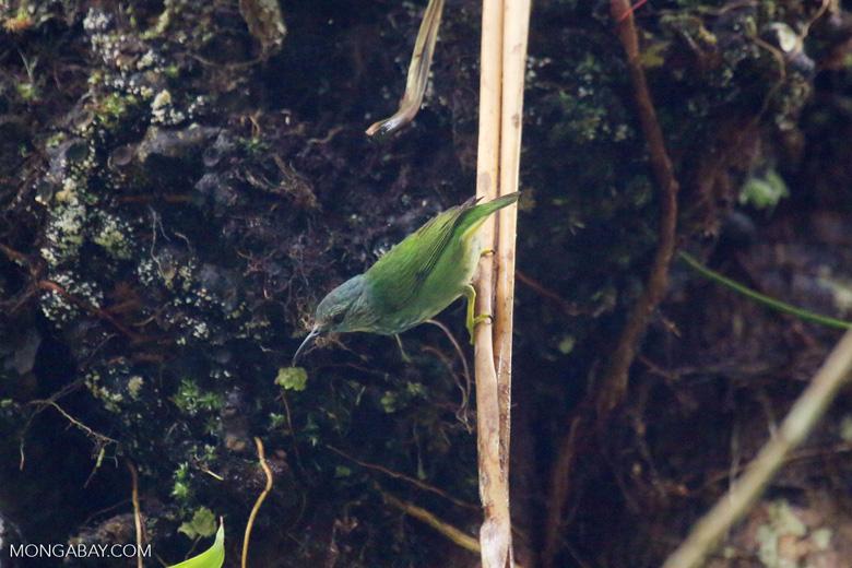 Bird [costa_rica_la_selva_1523]