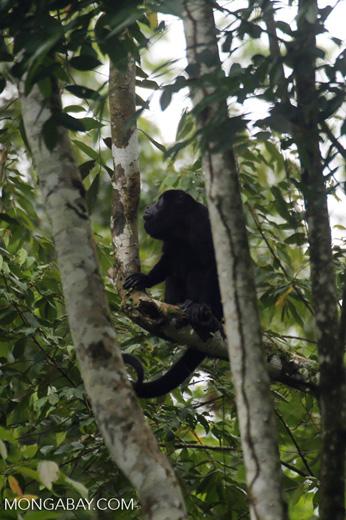 Mantled howler (Alouatta palliata) [costa_rica_la_selva_1527]