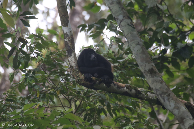 Mantled howler (Alouatta palliata) [costa_rica_la_selva_1543]
