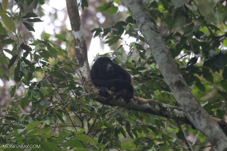 Mantled howler (Alouatta palliata) [costa_rica_la_selva_1544]
