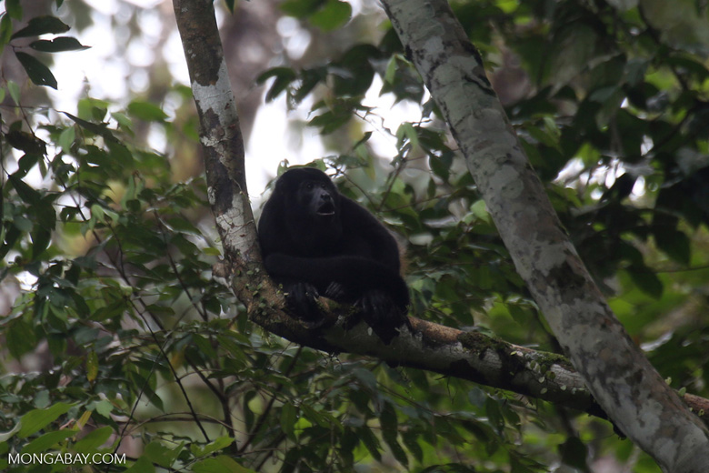 Mantled howler (Alouatta palliata) [costa_rica_la_selva_1550]