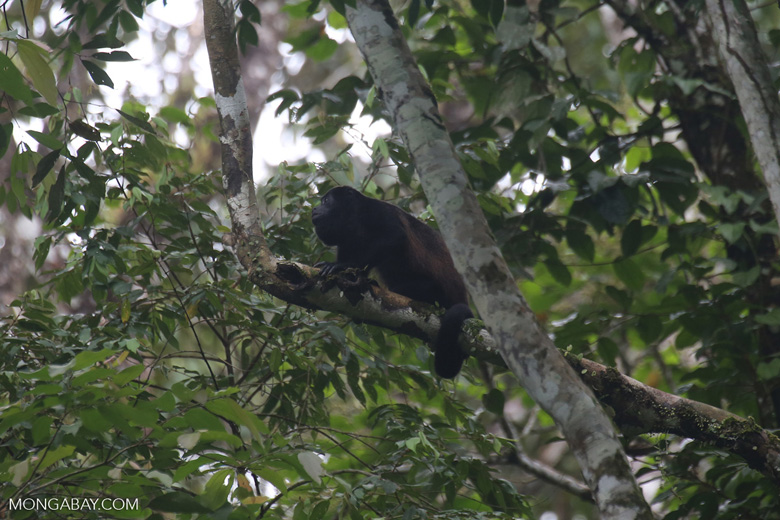 Mantled howler (Alouatta palliata) [costa_rica_la_selva_1559]