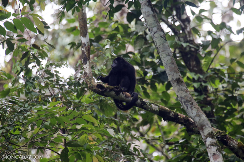 Mantled howler (Alouatta palliata) [costa_rica_la_selva_1567]