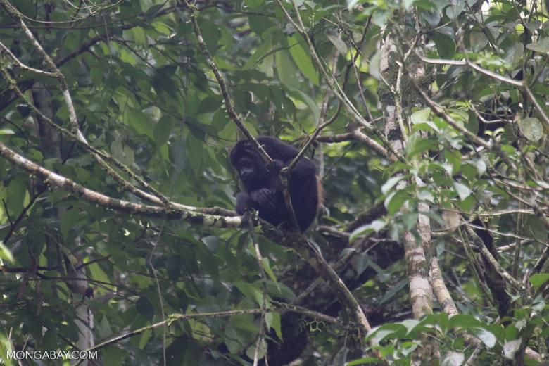 Mantled howler (Alouatta palliata) [costa_rica_la_selva_1569]