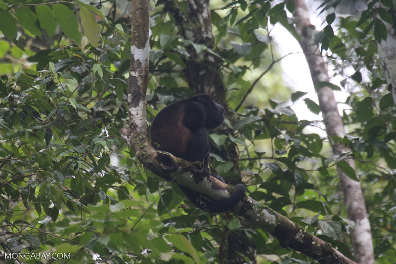 Mantled howler (Alouatta palliata) [costa_rica_la_selva_1570]