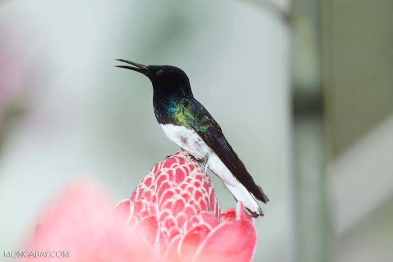 Hummingbirds [costa_rica_la_selva_1584]