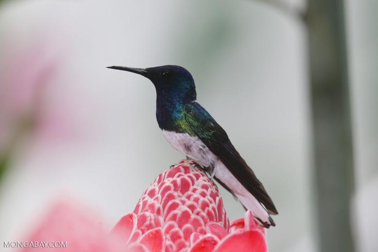 Hummingbirds [costa_rica_la_selva_1586]