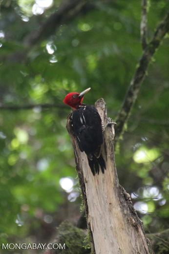 Pale-billed Woodpecker (Campephilus guatemalensis) [costa_rica_la_selva_1596]