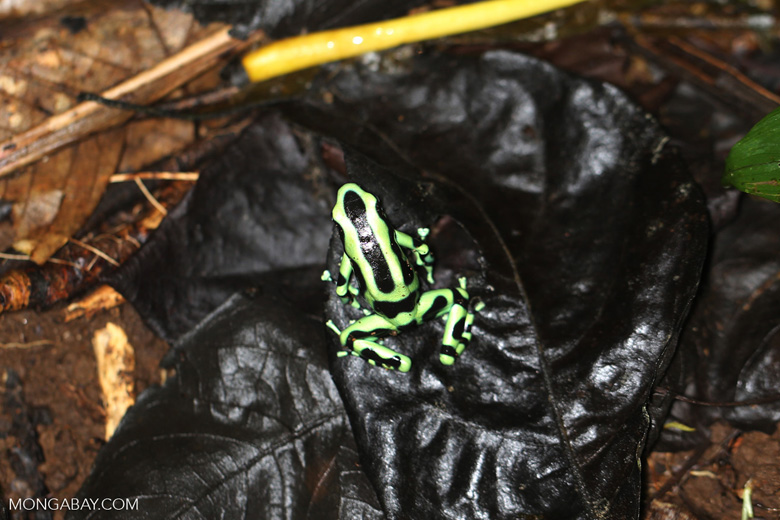 Green-and-black poison dart frog [costa_rica_la_selva_1606]