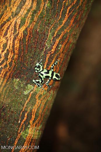 Green-and-black poison dart frog [costa_rica_la_selva_1610]