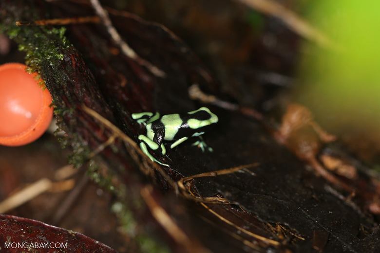 Green-and-black poison dart frog [costa_rica_la_selva_1624]