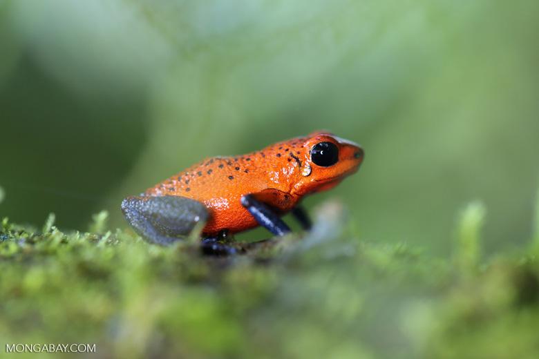 Strawberry poison-dart frog (Oophaga pumilio) [costa_rica_la_selva_1637]