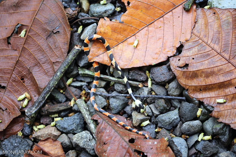 Snake [costa_rica_la_selva_1644]