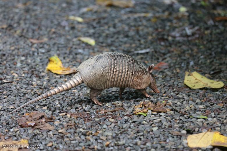 Armadillo (Dasypus novemcinctus) [costa_rica_la_selva_1666]
