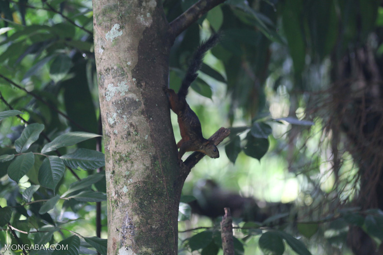 Squirrel [costa_rica_la_selva_1680]