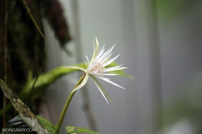 White flower [costa_rica_la_selva_1690]