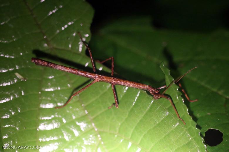 Stick insect [costa_rica_la_selva_1697]