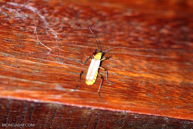 Insect [costa_rica_la_selva_1716]