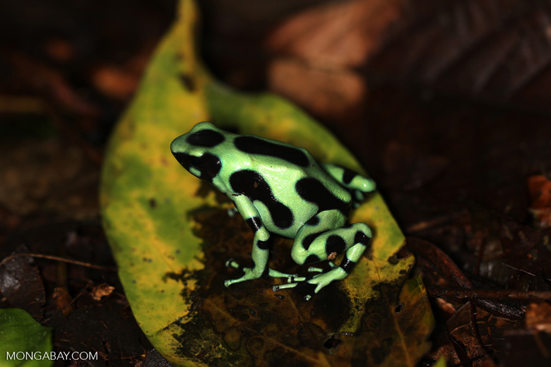 Green-and-black poison dart frog [costa_rica_la_selva_1796]
