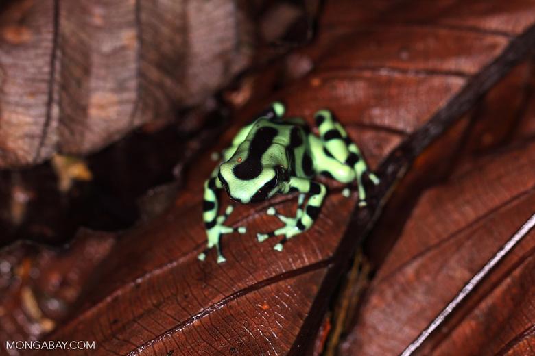 Green-and-black poison dart frog [costa_rica_la_selva_1799]