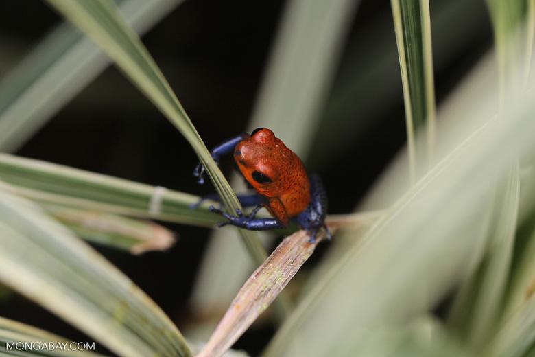 Strawberry poison-dart frog (Oophaga pumilio) [costa_rica_la_selva_1821]