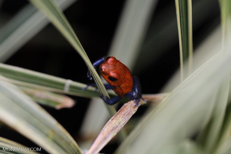 Strawberry poison-dart frog (Oophaga pumilio) [costa_rica_la_selva_1823]