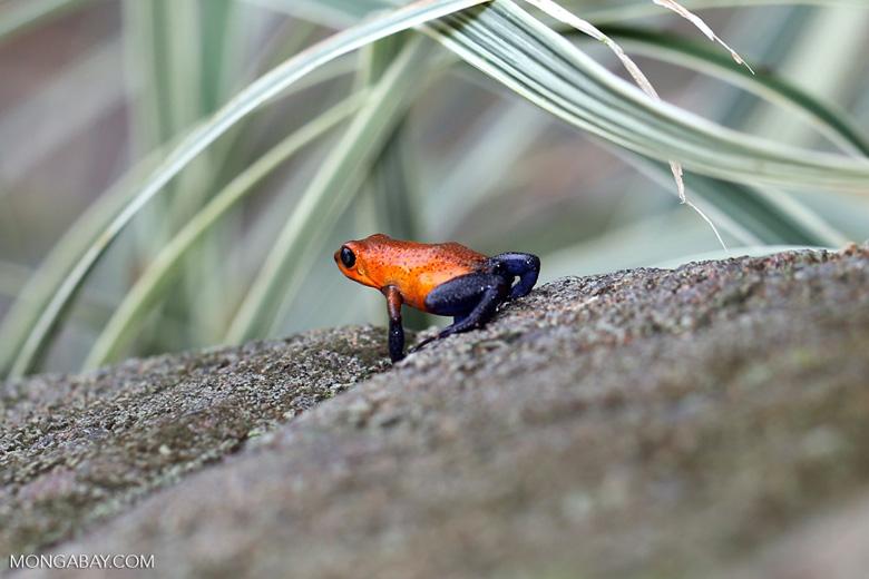 Strawberry poison-dart frog (Oophaga pumilio) [costa_rica_la_selva_1827]