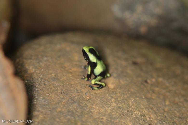 Juvenile green-and-black poison dart frog [costa_rica_la_selva_1837]