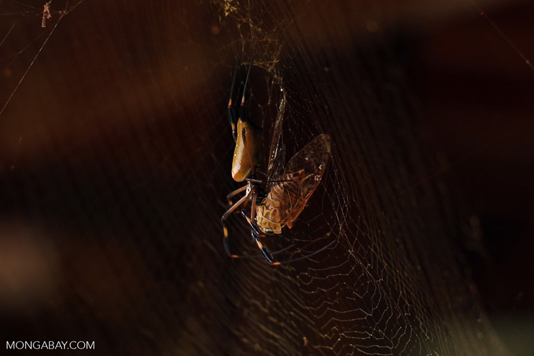 Orb spider eating a cicada
