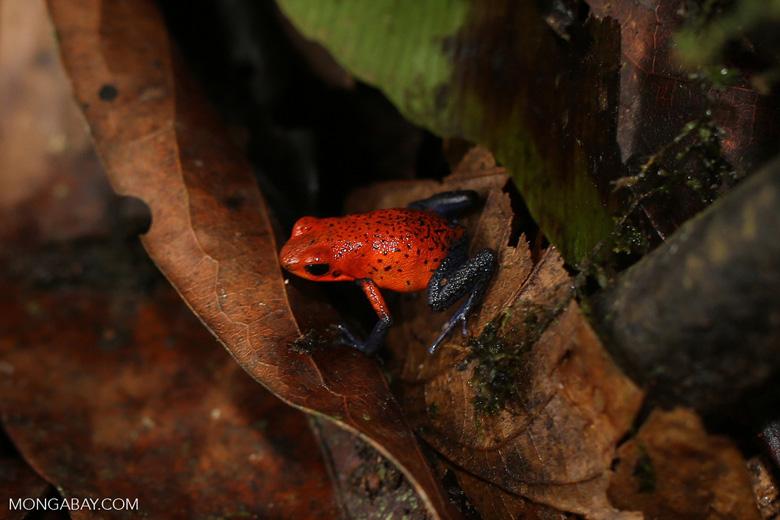 Strawberry poison-dart frog (Oophaga pumilio) [costa_rica_la_selva_1865]
