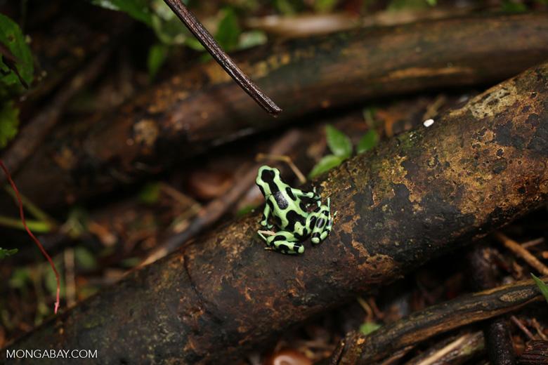 Green-and-black poison dart frog [costa_rica_la_selva_1873]