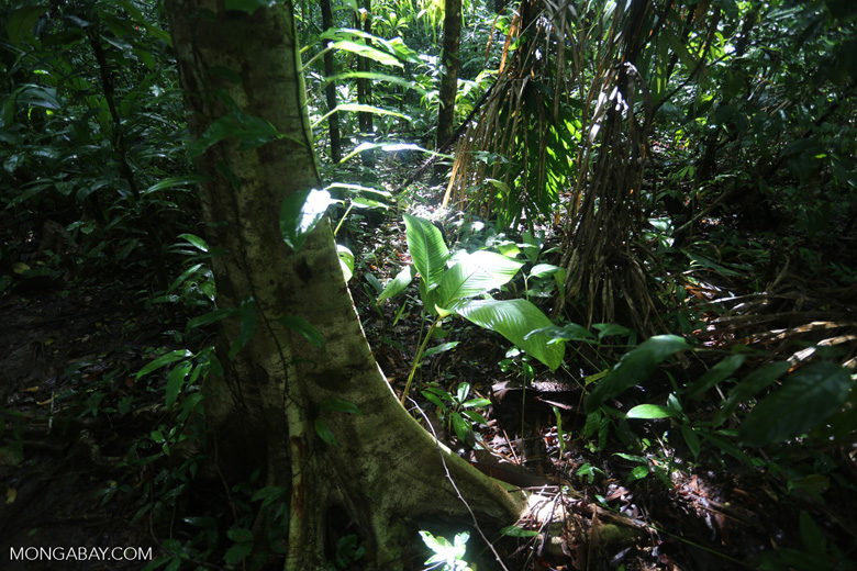 Rainforest [costa_rica_osa_0010]