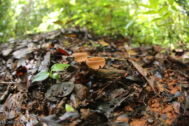 Red cup mushrooms [costa_rica_osa_0033]
