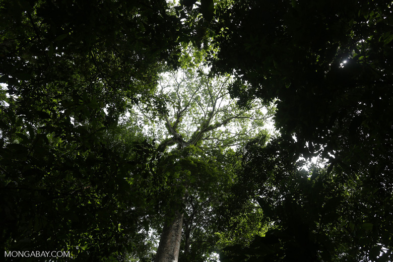 Epiphytes in a rainforest canopy tree [costa_rica_osa_0045]