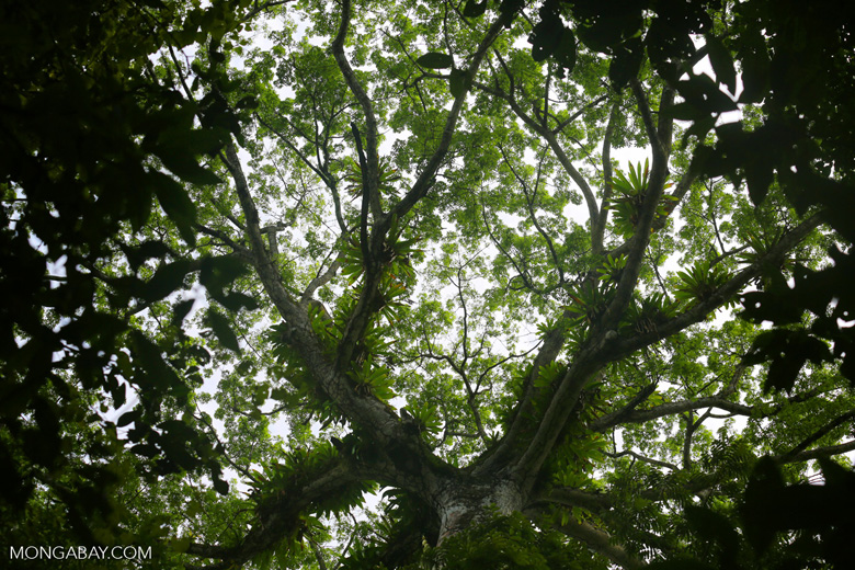 Epiphytes in a rainforest canopy tree [costa_rica_osa_0067]