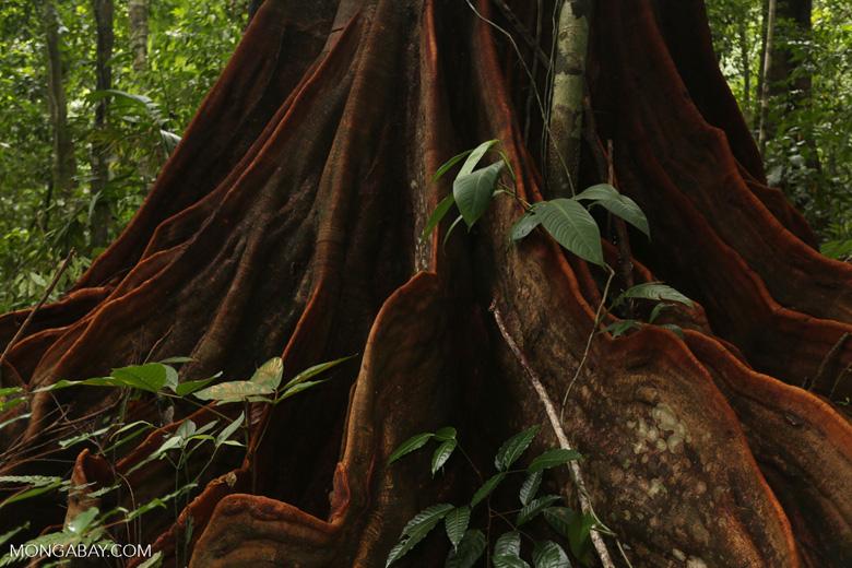 Osa rainforest tree [costa_rica_osa_0073]