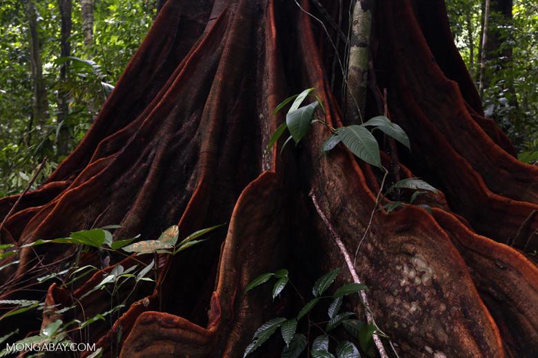 Osa rainforest tree [costa_rica_osa_0074]