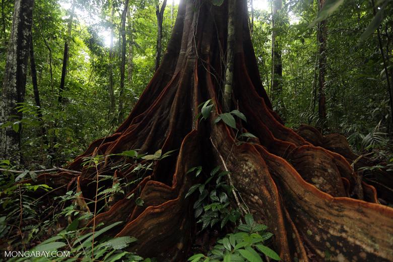 Osa rainforest tree [costa_rica_osa_0075]