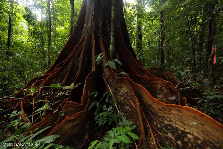 Osa rainforest tree [costa_rica_osa_0076]